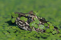 Rio Grande Leopard Frog, Rana berlandieri, adult in duckweed camouflaged, Lake Corpus Christi, Texas, USA