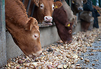 Charolais beef cattle feeding on potatoes through a metal feed barrier in straw feeding yards, Perth, Perthshire, Scotland.