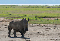 Southern White Rhinoceros, Ceratotherium simum simum, in Lake Nakuru National Park, Kenya. A Yellow-billed Oxpecker, Buphagus africanus, perches on its back and a Cattle Egret, Bubulcus ibis, forages at its feet.