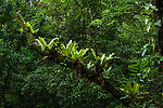 Epiphytic ferns growing on a tree branch in the rainforest of Panama.