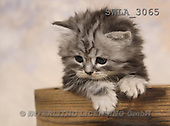 Carl, ANIMALS, photos, grey kitten(SWLA3065,#A#) Katzen, gatos