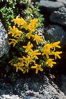 Goldprimel, Goldmannsschild, Gold-Mannsschild, Vitaliana primulifolia, Androsace vitaliana, Golden Primrose, Golden Primula