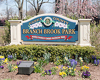 Entrance to Branch Brook Park in Newark, New Jersey on Sunday, April 20, 2014. Thousands of people make a pilgrimage to the park every spring to enjoy the cherry blossoms as they bloom in this 360 acre Essex County park. Designed by Frederick Law Olmstead in 1867, it contains over 4000 cherry trees surpassing the census In Washington DC. The first trees were originally a gift from Caroline Bamberger Fuld in 1926.   (© Richard B. Levine)
