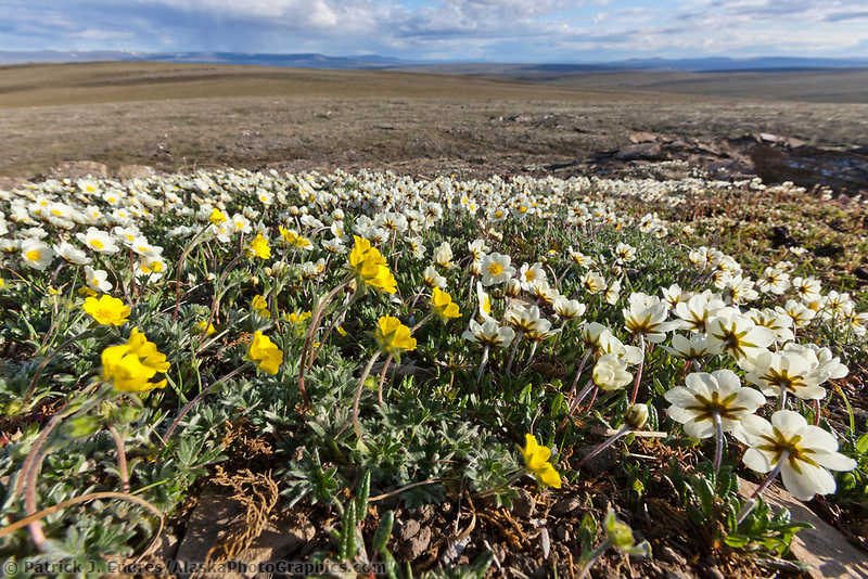 Wildflowers, Utukok Uplands, National Petroleum Reserve Alaska, Arctic, Alaska.