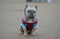 Bull Dog out side the stadium during West Ham United vs Burnley, Premier League Football at The London Stadium on 10th March 2018