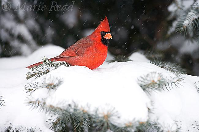 Northern Cardinal (Cardinalis cardinalis) male with falling snow, New York, USA.