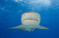 RW2372-D. Lemon Shark (Negaprion brevirostris), grows to 11 feet long, found in wide variety of micro habitats from mangroves to reefs to sand flats, litter size 4-17. Bahamas, Atlantic Ocean.<br /> Photo Copyright &copy; Brandon Cole. All rights reserved worldwide.  www.brandoncole.com