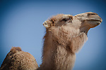 3.18.12 - Aladdin.....Camel of the Catskills...