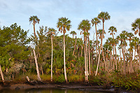 Tall palm trees along a waterway near Weeki Wachee and Spring Hill, Florida
