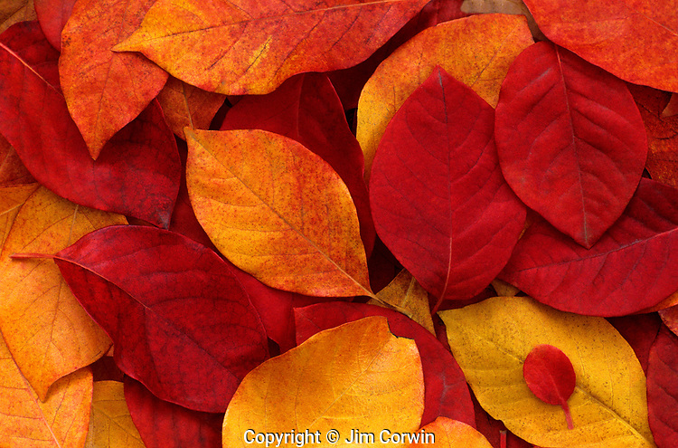 Autumn leaves piled on ground close up along Lake Washington Seattle Washington State USA