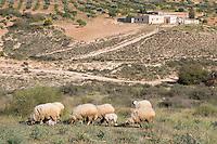 Near Tarhouna, Libya - Countryside, Sheep, Olive Trees, Farm