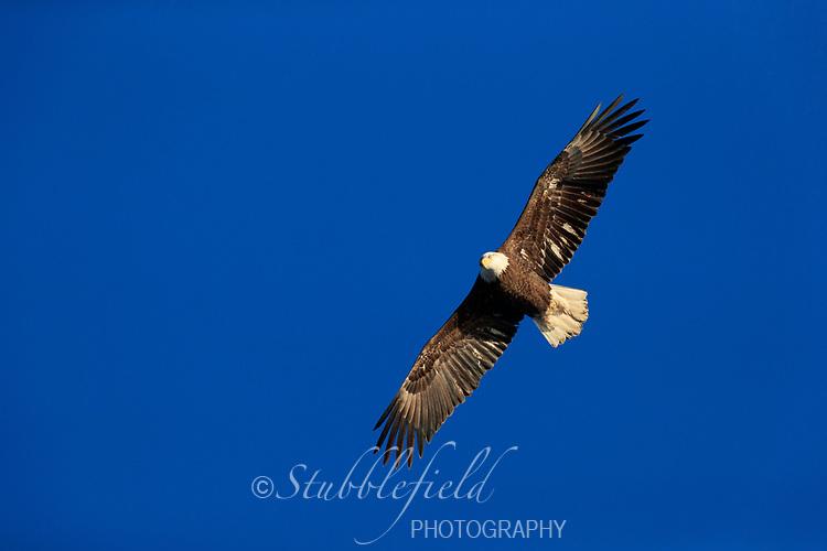 Bald Eagle (Haliaeetus leucocephalus washingtoniensis), in fourth year plumage in flight over the Hudson River at Verplanck Point in Verplanck, New York.