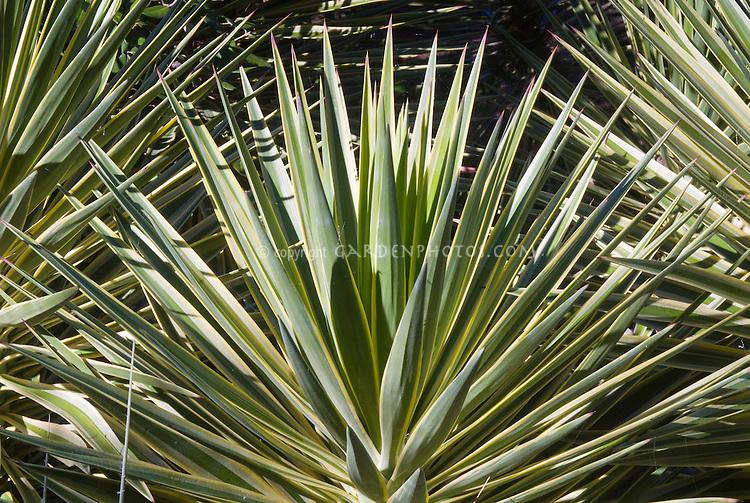 Yucca aloifolia 'Variegata' = Y. a. f. marginata, Variegated Spanish Bayonet
