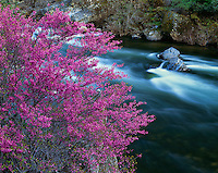 Sierra National Forest, CA<br /> Flowering California redbud (Cercis canadensis) on the Merced River in the Merced River Canyon
