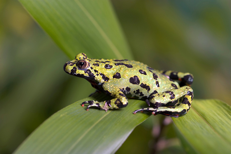 Oriental Fire-bellied Toad Bombina orientalis Length to 4cm Native to temperate regions of E Asia but widely kept in captivity. Adult has marbled green upperparts and with bright orange-yellow patches on otherwise dark underparts.