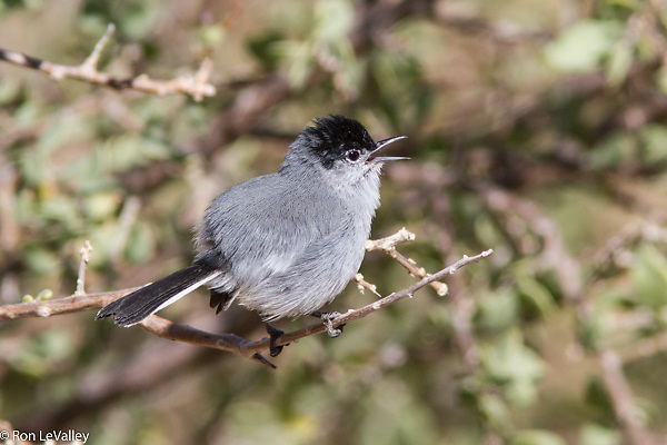 This tiny bird is an endangered species in southern California. They are more numerous in parts of Baja California.