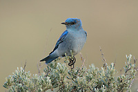 Adult male Mountain Bluebird (Sialia currucoides) perched on sage. Douglas County, Washington. April.
