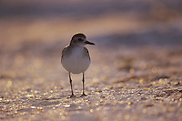 Black-bellied Plover, Pluvialis squatarola, adult winter plumage, Sanibel Island, Florida, USA, Dezember 1998