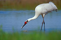 Whooping Crane (Grus americana) eating blue crab in salt marsh, Aransas NWR, Texas.