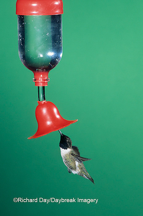 01161-00219 Black-chinned Hummingbird (Archilochus alexandri) male at feeder in Madera Canyon   AZ
