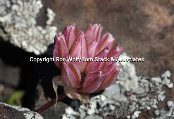 Volcanic Onion (Allium cratericola) a/k/a Cascades Onion. North Table Mountain. Near Oroville, Butte Co., Calif.