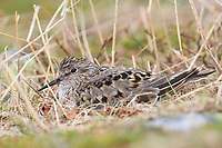 Adult Temminck's Stint (Calidris temminckii) incubating nest. Varanger Peninsula, Norway. June.