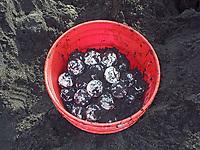 leatherback sea turtle eggs, Dermochelys coriacea, Dominica, Caribbean, Atlantic