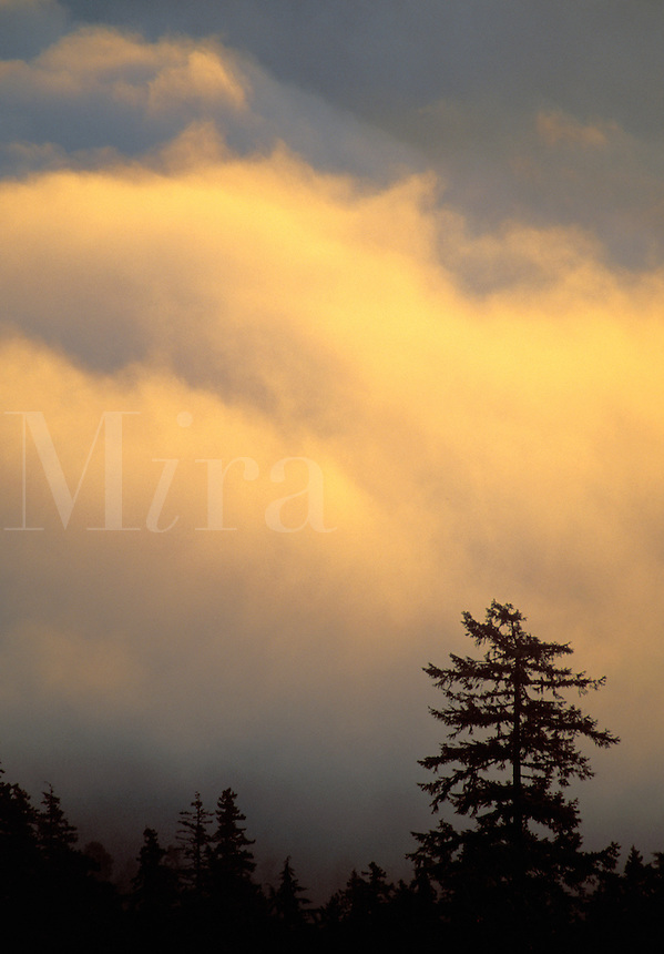Tree silhouetted against sunrise and clouds, Lookout Rock, Heart of the Hills Road, Hurricane Ridge, Olympic National Park, Washingto