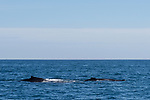 Sea of Cortez, Cabo San Lucas, Mexico; two humpback whales swim past on the surface in morning sunlight