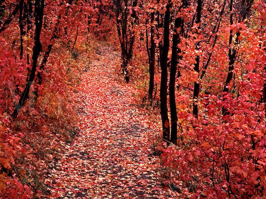 The path around Maple Lake meanders pleasantly through an autumn grove of maple trees that carpet the path witj the rich inviting colors of the fallen leaves