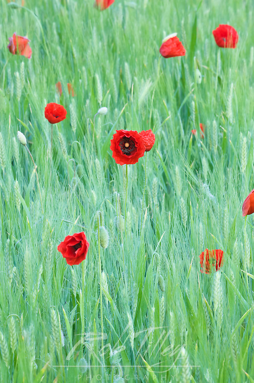 Europe, Italy, Tuscany, near Montepulciano, Wild Poppies Growing in Wheat Filed