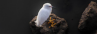 Viewed from almost directly above, a Snowy egret stands on rocks along the San Francisco Bay shore, its 'golden slippers', those distinctive yellow feet, prominently displayed.  Cropped to a panoramic perspective of 8.5 X 3.