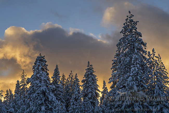 Sunset light on clouds and fresh fallen snow on trees in winter, Dorrington, Calaveras County, California
