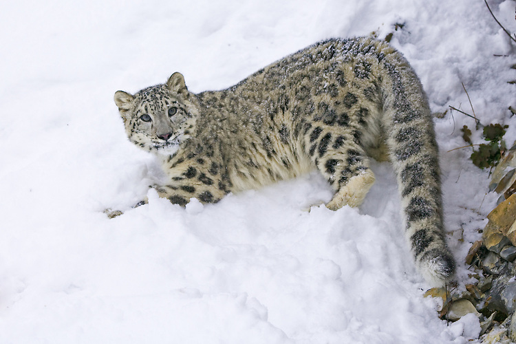 Snow Leopard looking back from a snowy hill - CA