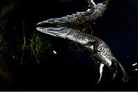 Morelet's crocodile, or Mexican crocodile, Crocodylus moreletii, carwash cenote, Tulum Riviera maya Mexico
