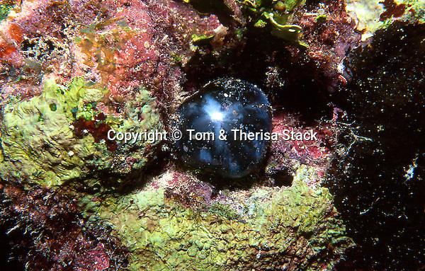 Sea Pearl Algae, Ventricaria ventricosa