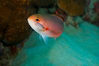 Creole fish, Paranthias furcifer, with isopod parasite
