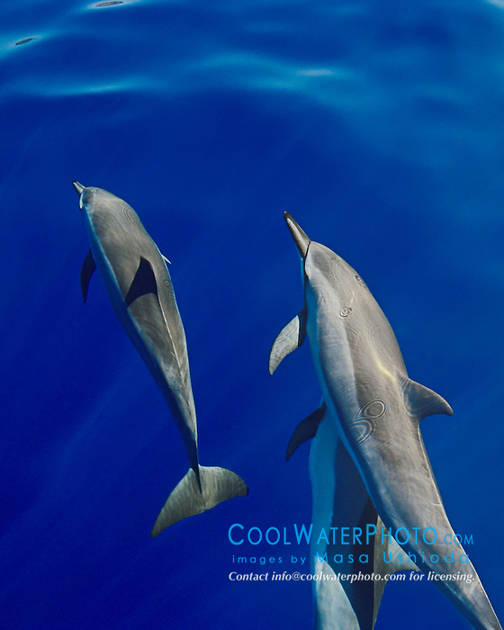 long-snouted spinner dolphins, bow-riding, Stenella longirostris, Kona, Big Island, Hawaii, Pacific Ocean