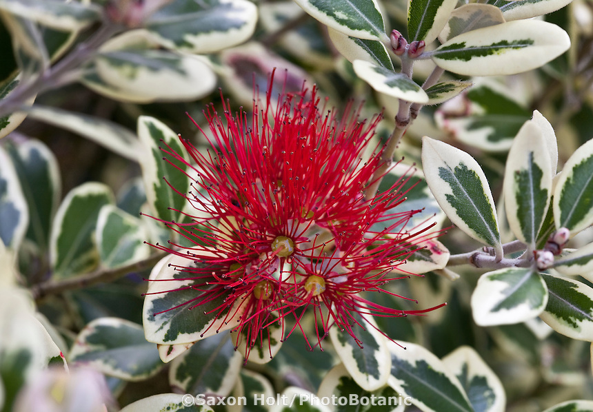 Red flower and variegated foliage of drought tolerant Pohutukawa shrub, Metrosideros kermadecensis 'Variegata' in San Francisco Botanical Garden