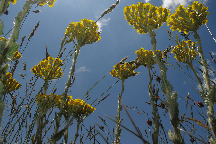 Yellow Yarrow, Achillea filipendulina (Gold Plate), Mountain pasture, Mount Baba (1635 m) in Galicica National Park.<br /> Stenje region, Lake Macro Prespa (850m) <br /> Galicica National Park, Macedonia, June 2009<br /> Mission: Macedonia, Lake Macro Prespa /  Lake Ohrid, Transnational Park<br /> David Maitland / Wild Wonders of Europe