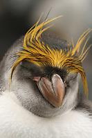 Royal or Macaroni Penguin asleep on Sandy Bay, Macquarie Island, Antarctica