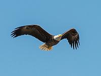 February 20, 2014: Bald eagle (Haliaeetus leucocephalus) nest corner of Plant Street and E Crown Point Rd Ocoee, FL