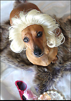 BNPS.co.uk (01202 558833)<br /> Pic: Cushzilla/BNPS<br /> <br /> ***Please use full byline***<br /> <br /> Marilyn wig.<br /> <br /> A barking-mad designer has launched a range of wigs that turn pets into pop princesses including Katy Perry, Lady Gaga, Britney Spears and even Dolly Parton.<br /> <br /> Dogs and cats can also be dressed up as dragons, pilots, wizards or Prince Charming thanks to Leah Workman's wacky creations.<br /> <br /> The 40-year-old from Los Angeles spotted the trend of dressing up pets while studying in Japan - and later teamed up with husband Hiroshi Hibino to launch company Cushzilla.<br /> <br /> The pair instantly set tails wagging around the internet with their bonkers brand of pet fashion, which also features Sharon Osbourne and Sid Vicious wigs and cow and tiger costumes.<br /> <br /> Leah imports the high quality handmade wigs while costumes come from famous Japanese pet clothing designer Takako Iwasa.<br /> <br /> She says the most popular wig is the Lady Gaga, while the pilot's outfit tops the popularity charts in the costume department.<br /> <br /> Her own cats Jitters and Justus model many of the products on the company's website.