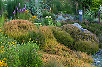 Calluna vulgaris 'Firefly' in evergreen groundcover foliage tapestry of heathers shrubs in Dry Stream Bed in Soest Herbaceous Display Garden, University of Washington Botanic Garden, Center for Urban Horticulture, Seattle