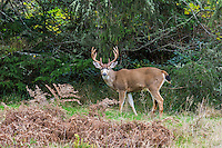 Columbian Black-tailed Deer Buck or Coastal Black-tailed Deer buck (Odocoileus hemionus columbianus).  Pacific Northwest.  Fall.
