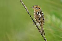 Nelson's Sharp-tailed Sparrow - Ammodramus nelsoni