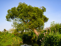 A Willow tree grows on the bank of Clear Creek, Nachusa Grasslands Nature Conservancy, Lee & Ogle Counties, Illinois