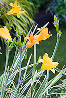 Hemerocallis 'Golden Zebra' Variegated daylily