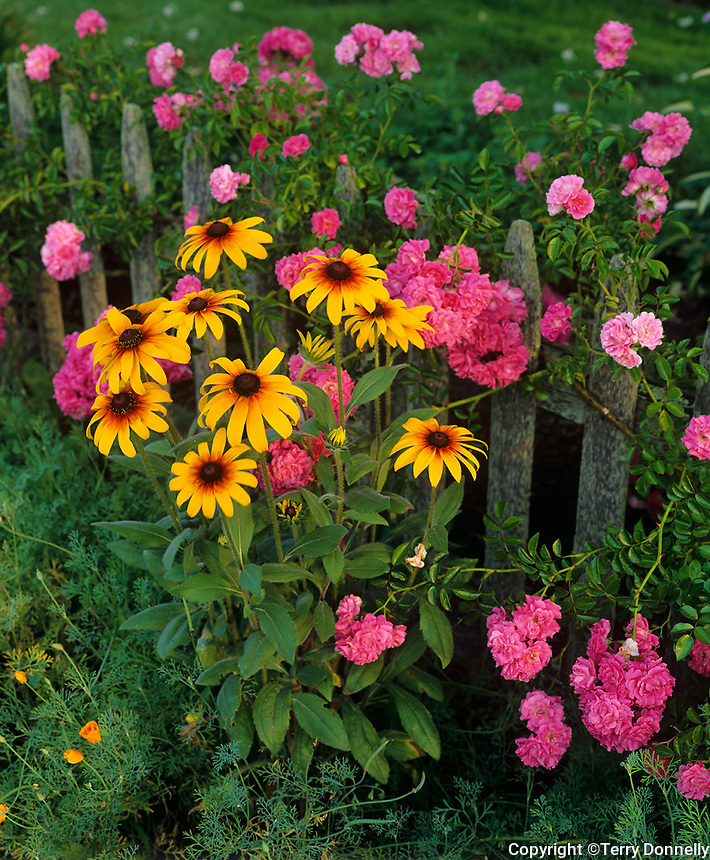 Provincetown, Cape Cod, MA:  Cottage garden detail with roses and black-eyed Susans flowering on a weathered picket fence