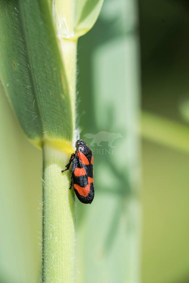 Bloedcicade ( Cercopis vulnerata)